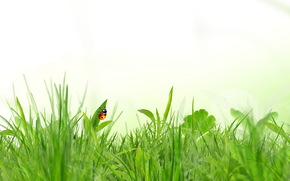 grass, insect, ladybird, spring, white background