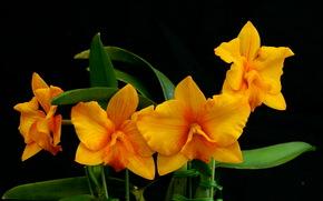 Орхидеи, Оранжевый, Цветы