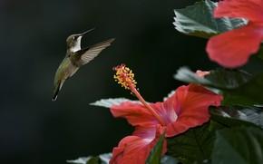 колибри, птица, фокус, гибискус, цветок