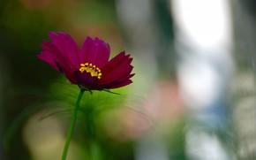 космея, цветок, яркий, фокус, зелень, лето