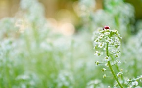 Flowers, field, White, lady's purse, ladybird, insect