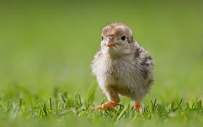 pulcino, pollo, erba, passeggiare