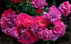 розы, розовый куст, лепестки