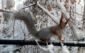 белка, ветки, зима