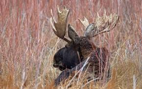 elk, Horn, nature
