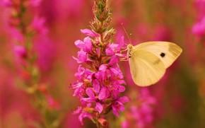 цветок, бабочка, крылья, розовый, фокус