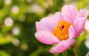 цветок, розовый, пион, лето, фокус