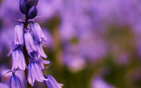 flower, Bells, lilac, focus, field, summer