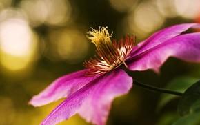 clematis, flower, pink, focus, vine, liana