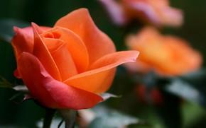 цветок, макро, роза, оранжевая, фокус, размытость