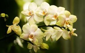 цветок, ветка, орхидея, фалинопсис, бутоны, в крапинку, светлая