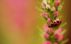 flor, escarabajo, manchado, insecto, enfocar, Campo