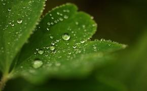 лист, капли, роса, резной, природа