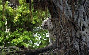tigre, albero, natura
