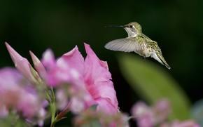 птица, колибри, цветок, фокус, зелень