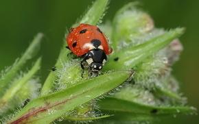 mariquita, deja, gotas, insecto, escarabajo, roco