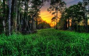 alberi, cipressi, erba, tramonto