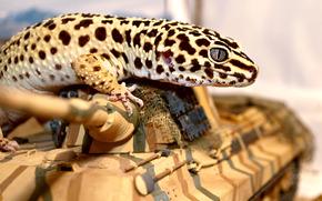 lizard, tank, eye, eublefar, gecko