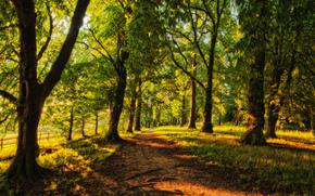 traccia, conifero, alberi, foresta, soleggiato, sentiero