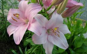 Лилии, Розовый, Цветы
