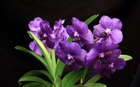 Орхидеи, Фиолетовый, Цветы