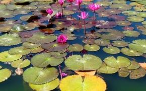 fiori, loto, lago