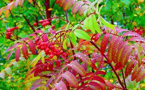 осень, рябина, природа