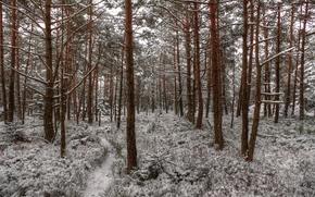 inverno, foresta, neve, sentiero, traccia, alberi, paesaggio