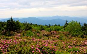 Пейзаж, mountain, rhododendrons north, carolina, Природа, Цветы