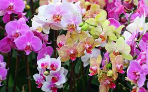орхидеи, орхидея, цветы, цветок, фаленопсис, букет, природа