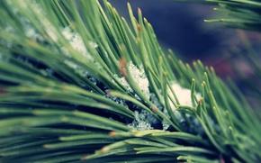 Tree, branch, snow, macro, Winter, spring, needles