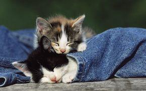 котята, малыши, джинсы, спящие котята, нежность, животные