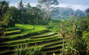 rice fields, Palms, nature