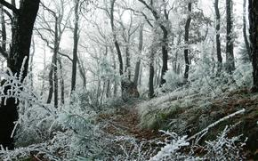 forest, Trees, grass, frost