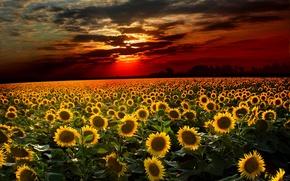 закат, поле, подсолнухи, пейзаж