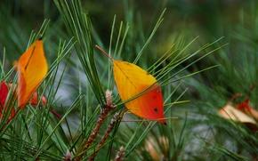 needles, needles, leaves, autumn