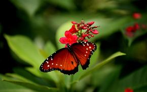farfalla, fiore, Macro