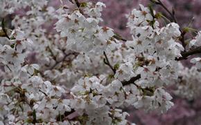 branch, Flowers, macro