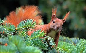 spruce, branch, paw, squirrel, needles