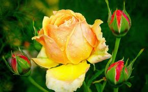 Липестки, цветок, роза, бутон, листья, шипы