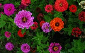 zinnias, (Major), Fleurs