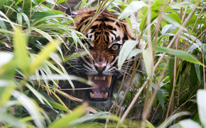 tiger, predator, grass, jaws, canines, rage, grin