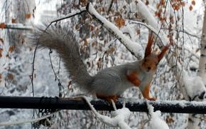 белка, деревья, зима