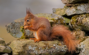 scoiattolo, pietre, Rosso