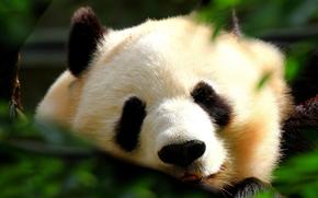 панда, сидит у дерева, медведь