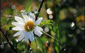 camomilla, fiore, Macro