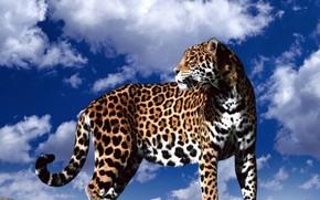 jaguar, sky, nature