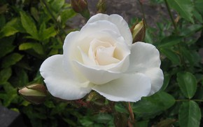 rosa, Color blanco, flor
