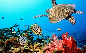 Maldive, tropici, pesce, Coralli