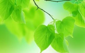 leaves, green, branch, macro